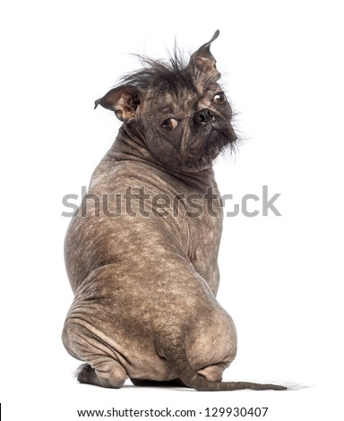 Rear view of a Hairless Mixed-breed dog, mix between a French bulldog and a Chinese crested dog, sitting and looking at the camera in front of white background - stock photo