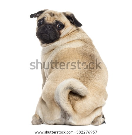 Rear view of a Pug sitting and looking at the camera, isolated on white (1 year old) - stock photo