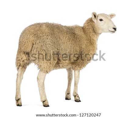 Rear view of a Sheep looking away against white background - stock photo