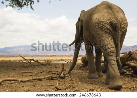 Rear view of an African Elephant bull overlooking the Zambezi river - stock photo