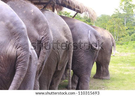 rear view of five elephants - stock photo