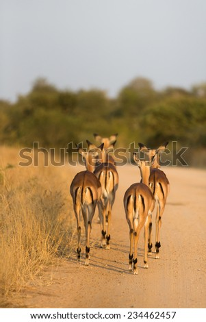 Rear view of five impala ewes, Aepyceros, melampus, walking on a dirt road in golden light in the Kruger National Park, South Africa. - stock photo