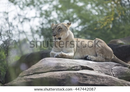 Rear view of Lioness laying on rocks during the hot summer day - stock photo