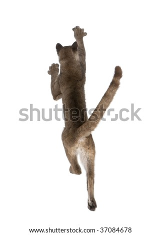 Rear view of Puma cub, Puma concolor, 1 year old, leaping in midair against white background, studio shot - stock photo
