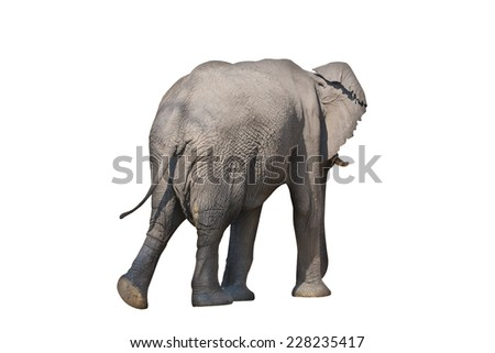 Rear view of whole elephant on white background with clipping path - stock photo