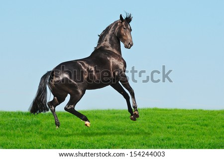 Rearing black horse in green field - stock photo