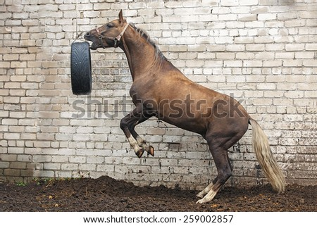 Rearing stallion playing with a car tire on the brick wall background. - stock photo