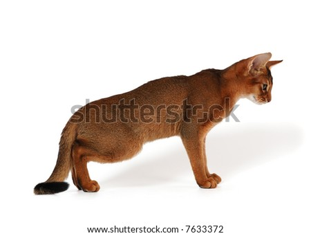 red abyssinian kitten on white background with shadow - stock photo