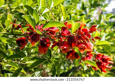 red acacia flowers - stock photo