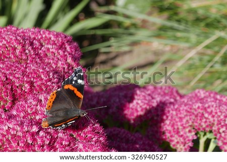 Red Admiral butterfly rests on summer garden flowers - stock photo
