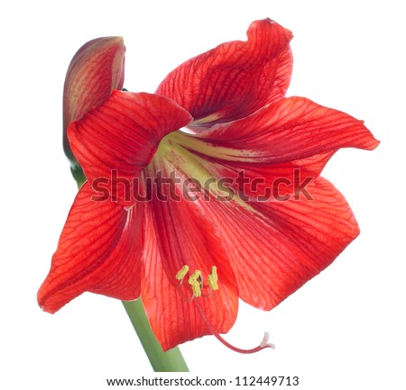 red amaryllis on white background - stock photo
