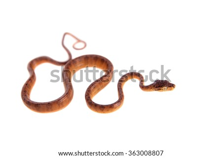 Red Amazon tree boa, corallus hortulanus, isolated on white background - stock photo