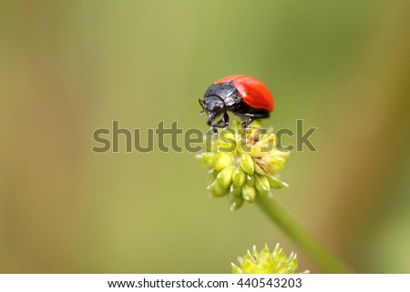 Red and black insect from a portuguese meadow - stock photo
