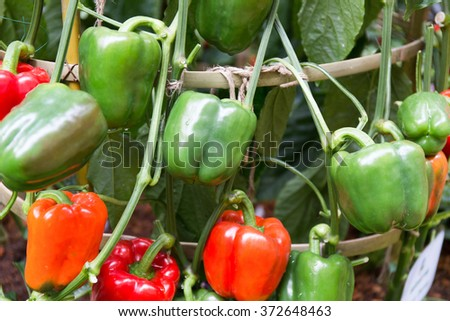 red and green peppers growing in the garden. - stock photo