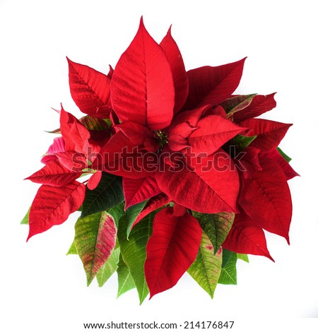 Red and green poinsettia plant for Christmas isolated on white background, view from above - stock photo