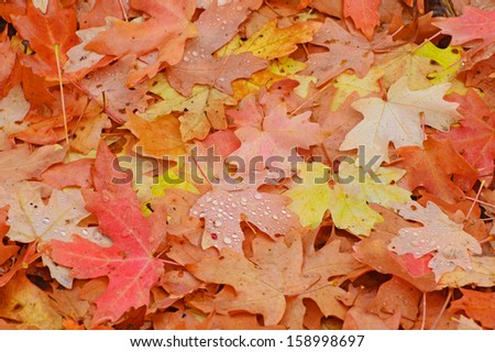 Red and Orange Maple Leaves with water droplets - stock photo