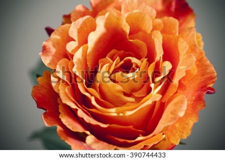 red and orange rose close up background - stock photo