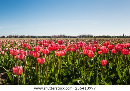 Red and pink flowering tulips cultivated by a Dutch bulb nursery on a sunny day in the spring season. - stock photo