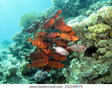 Red and silver bigeyes (Priacanthus hamrur) next to a coral pinnacle - stock photo