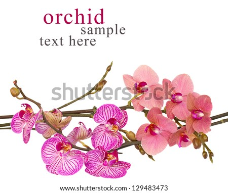 red and violet orchids  close up isolated on white background - stock photo