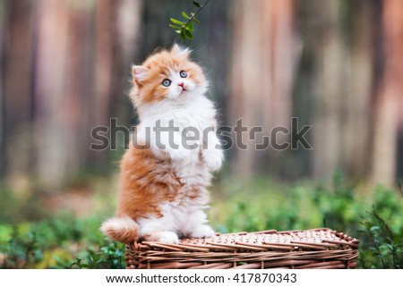 red and white british longhair kitten posing outdoors - stock photo