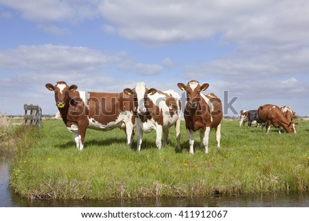 red and white cows in green grassy dutch meadow under blue sky with clouds - stock photo