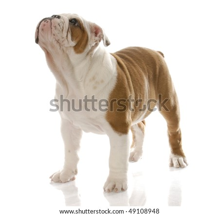 red and white english bulldog puppy standing looking up with reflection on white background - stock photo