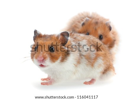 Red and white hamster isolated on white - stock photo