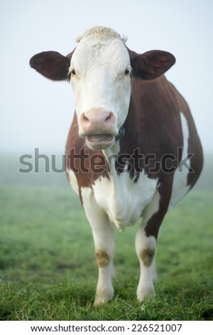 Red and white Holstein cow, with open mouth, standing in a meadow on a misty morning - stock photo