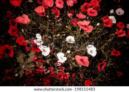 Red and white illuminated blooming flowers on dark ground from top view - stock photo