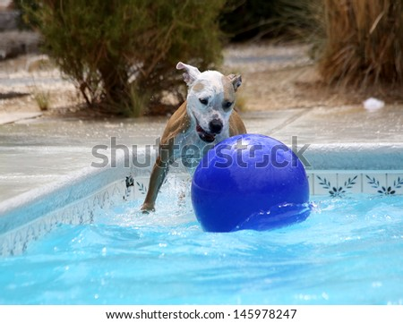 Red and White Pitbull playing with a ball in the pool - stock photo