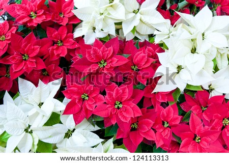 Red and white poinsettias, Christmas flowers - stock photo
