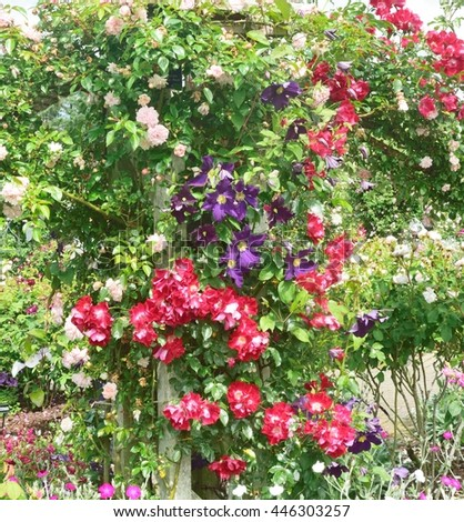 Red and white Roses with climbing  Clematis - stock photo