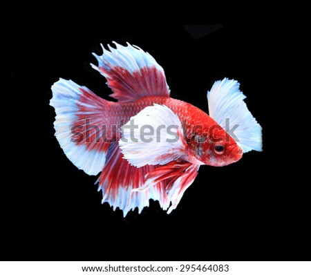 Red and white siamese fighting fish, betta fish isolated on black background. - stock photo