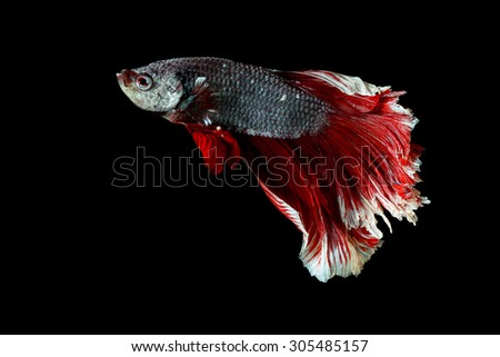 Red and white siamese fighting fish half moon , betta fish isolated on black - stock photo