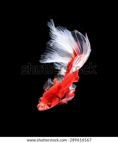 Red and white siamese fighting fish halfmoon , betta fish isolated on black background. - stock photo