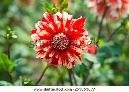 Red and white strip Dahila, selective focus.Dahlia is a genus of bushy, tuberous, herbaceous perennial plants native mainly in Mexico, but also Central America, and Colombia - stock photo