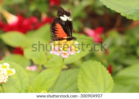 """Red and white striped black """"Doris Longwing"""" butterfly (or The Doris) in Innsbruck, Austria. Its scientific name is Heliconius Doris (or Laparus Doris), native from Central America to the Amazon. - stock photo"""