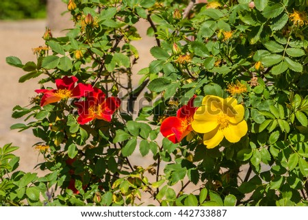 Red and yellow dog-roses. Ornamental dog-roses filled picture. Beautiful roses with green leaves. Sunny day. Unusual flower, unlike others. Distinct yellow flower between others. Be different concept. - stock photo