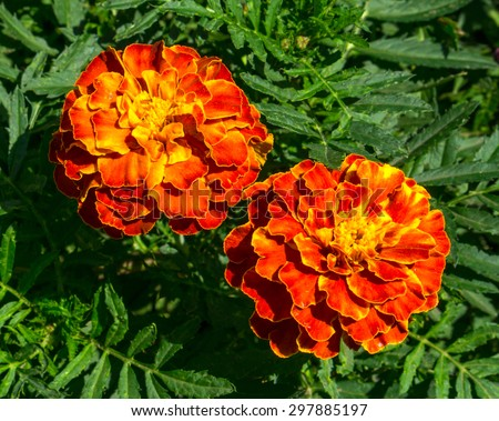 Red and yellow flowers perennial aster in the garden - stock photo