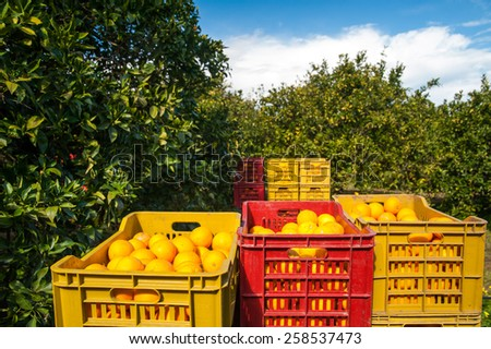 Red and yellow plastic fruit boxes full of oranges by orange trees during harvest season in Sicily - stock photo