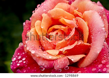 red and yellow rose 7 - stock photo