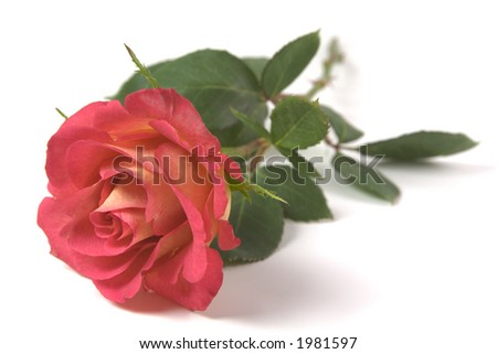 Red and Yellow Rose on isolated white background - stock photo