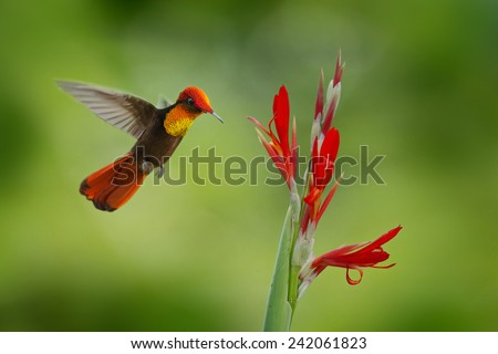 Red and yellow Ruby-Topaz Hummingbird, Chrysolampis mosquitus, flying next to beautiful red flower in Tobago Island - stock photo