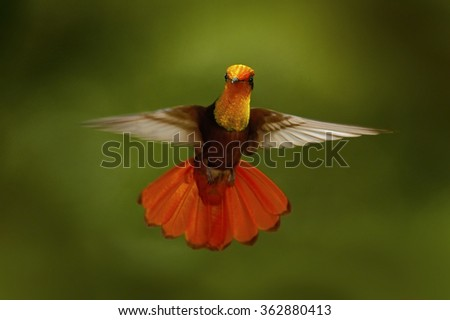 Red and yellow Ruby-Topaz Hummingbird, Chrysolampis mosquitus, flying with open wings, frontal look with glossy orange head, spread tail, Tobago Island, Trinidad and Tobago - stock photo