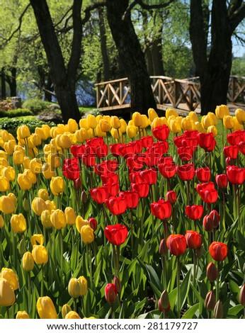 Red and yellow tulips field near wooden bridge - stock photo