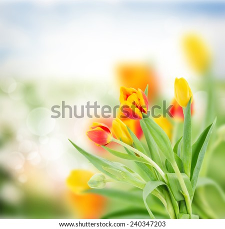 red and yellow tulips in garden on  bokeh background with grass and sky - stock photo