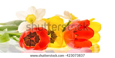 red and yellow tulips isolated on white background - stock photo