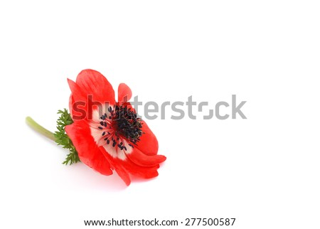 red anemone flower - stock photo