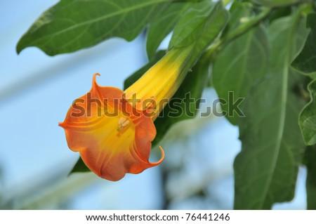 Red Angel's Trumpet - Brugmansia sanguinea - stock photo